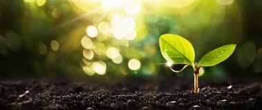 Young Plant in Sunlight. Growing plant, Plant seedling Royalty Free Stock Photos