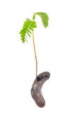 Young plant of the tamarind Royalty Free Stock Image