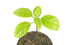 Young plant tree on white background. Young plant tree growing seedling in soil isolated on white background Royalty Free Stock Photo