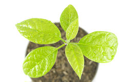 Young plant tree on white background. Young plant tree growing seedling in soil isolated on white background Royalty Free Stock Image