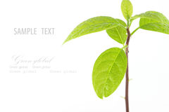 Young plant tree on white background. Young plant tree  isolated on white background Royalty Free Stock Photos