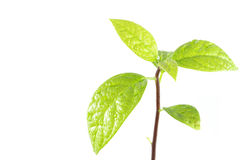 Young plant tree on white background. Young plant tree  isolated on white background Royalty Free Stock Images