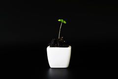 Young plant in a white ceramic pot Royalty Free Stock Image