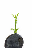 Young plant on white with copyspace showing gardening agricultur Royalty Free Stock Photo