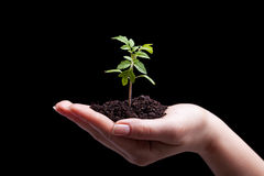 Young plant in woman hand - lit from above Royalty Free Stock Image