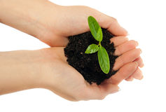 Young plant in woman hands Royalty Free Stock Images