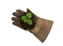 Young Plant On Work Glove XXXL Isolated On White Royalty Free Stock Images