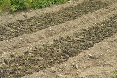 Young planted vegetables with organic fertilizers Royalty Free Stock Image