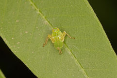 Young planthopper Royalty Free Stock Photography