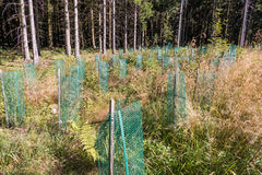 Young plantings with cover protection. Young plantings with cover protection in the forest in Winterberg, Germany Stock Image