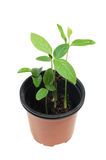 Young plants. Young rich green plants in brown flowerpot stock photo