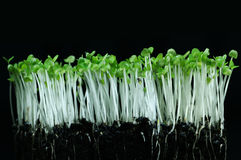 Young plants. Group of young plants in a dark background Stock Photography