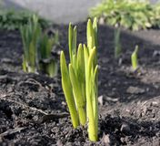 Young plants. Which several days ago have seen a sunlight are close up photographed Royalty Free Stock Photo
