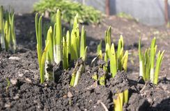 Young plants. Which several days ago have seen a sunlight are close up photographed Stock Photos