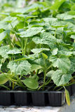 Young plants. Pumpkin young plants in green house Stock Photos