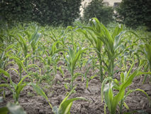 Young plants in a corn field Royalty Free Stock Images