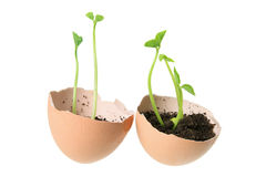 Young Plants in Egg Shells Royalty Free Stock Photo