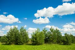Young Plants Of Evergreen Pine Trees On Field. Stock Images