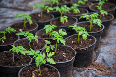 Young plants in greenhouse, close up Royalty Free Stock Photography
