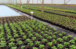 Young plants in greenhouse Stock Images