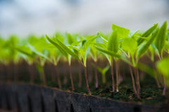 Young plants in greenhouse Royalty Free Stock Photo