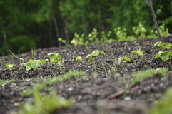 Young plants in ground Stock Photography