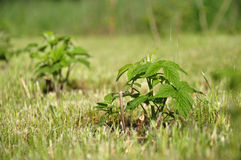 Young plants in ground Royalty Free Stock Image