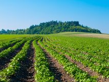 Young plants growing in furrows Stock Photo