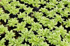 Young plants growing in a plant nursery Stock Image