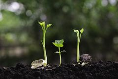 Young plants growing  from seed step up  in nature with The fertile soil.  royalty free stock image