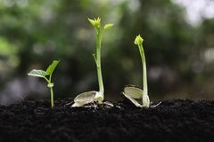 Young plants growing  from seed step up  in nature with The fertile soil.  royalty free stock photography