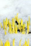 Young plants growing up through the snow Stock Photo