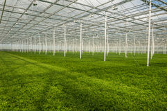 Young plants growing in a very large plant nursery in the Nether Royalty Free Stock Photo