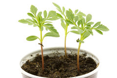 Young plants grown. Three seedlings grew up in a pot, isolated on white Stock Photography