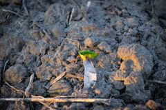 Young plants make their way from the ground to the sunlight stock image
