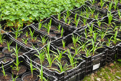 Young plants in nursery Stock Photography