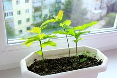 Young plants of oaks on window-sill and view to neighboring house. Tree planting royalty free stock photography