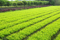 Young plants and Osmanthus trees. Some young green plants in the field Stock Photography