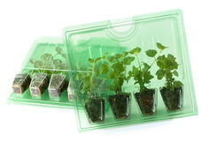 Young plants in packs for mail order. Young Dichondra Silver Falls and Satureja Indian Mint plants of  in packs for mail order Stock Image