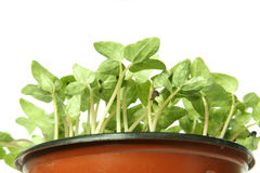 Young plants in the pot Royalty Free Stock Photos