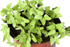 Young plants in the pot. On white background Royalty Free Stock Photo