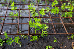Young plants seedlings carrot. Under metal grid stock photography