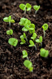 Young plants in the soil Royalty Free Stock Image