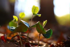 Young Plants In Spring Forest. Young green beech plants growing between dry leaves in spring forest Stock Photos