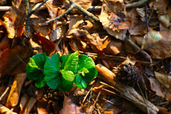 Young Plants In Spring Forest. Young green beech plants growing between dry leaves in spring forest Stock Images