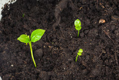 Young plants sprouting at closeup Stock Image