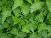 Young plants of stinging nettle Stock Image