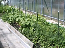 Young plants tomato and radishes seedlings in a greenhouse Royalty Free Stock Photo