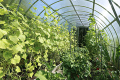 Young plants tomato seedlings in a greenhouse Royalty Free Stock Images