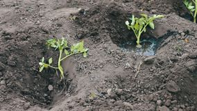 Young plants tomato woman puts in the ground digs up and watered stock footage